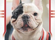 Upper Deck Celebrates the Adorable Chicago Native, Manny the Frenchie, with a Trading Card Set and Meet & Greet at the National Sports Collectors Convention!